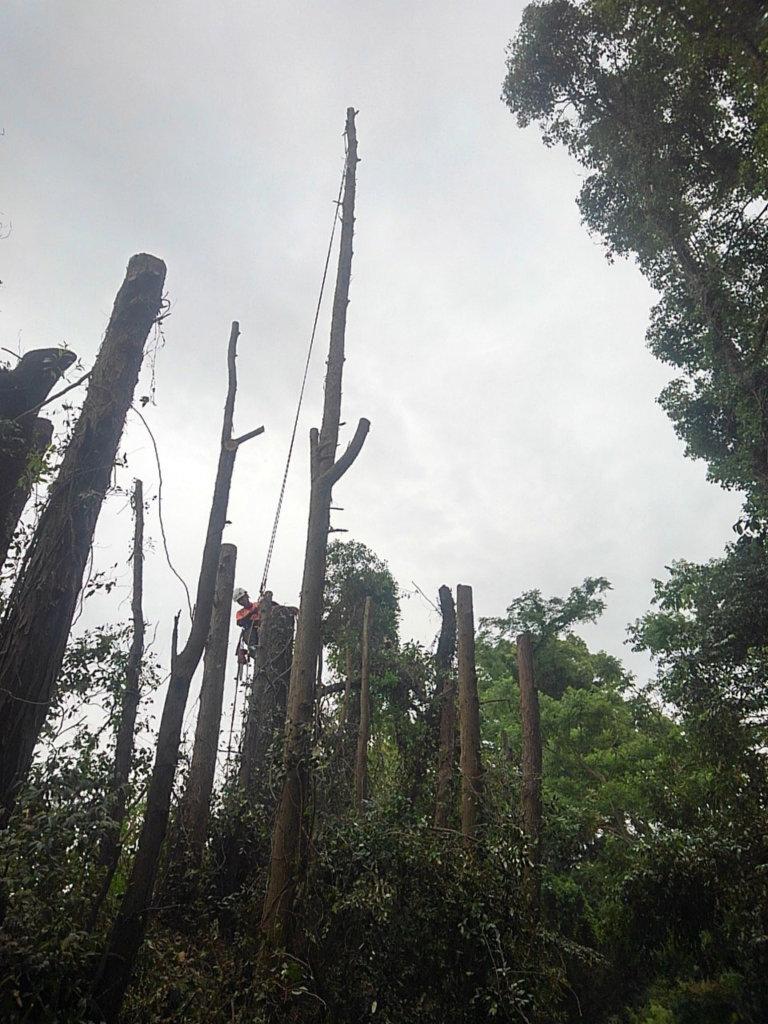 枝を払い、支点を構築している樹木以外を伐倒できる高さまで下げ終えた所です