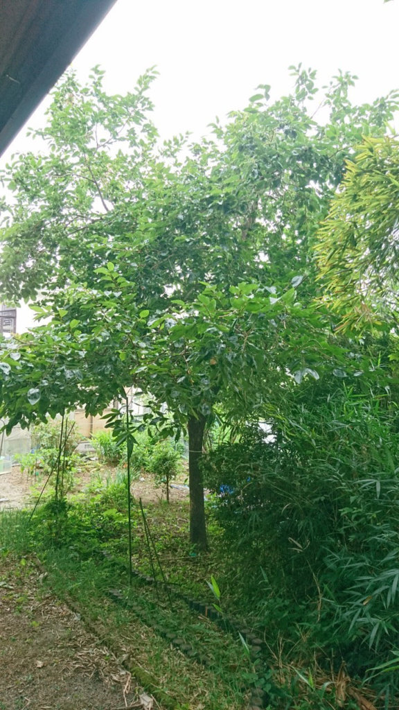 柿の木、作業前