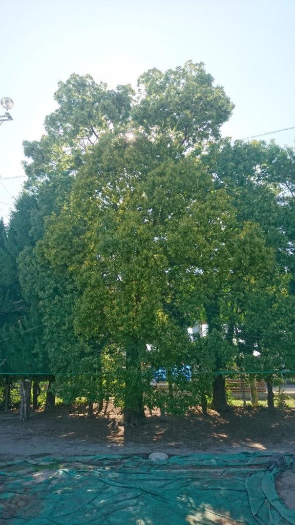 クスノキ剪定前。こちらもネットの網目へ枝が入り込みそのまま成長してしまったようです。