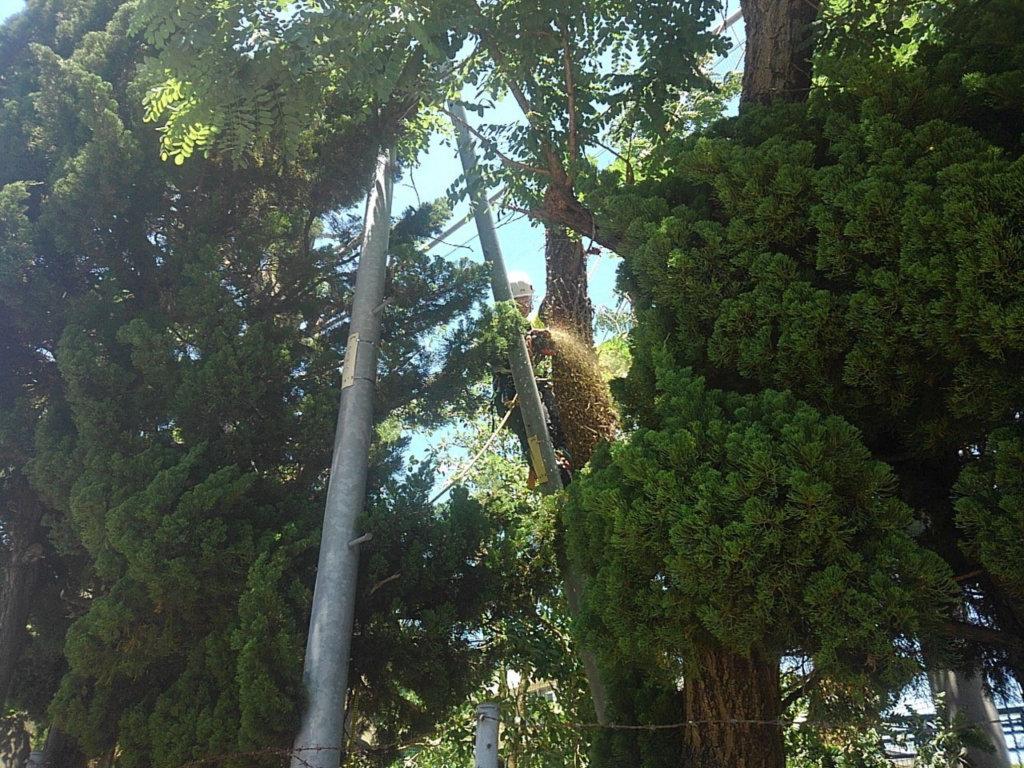 ニセアカシア伐採作業状況その1。木と電柱にツルが絡まっていたので、少しづつツルを外しながら幹を切り下していきました。