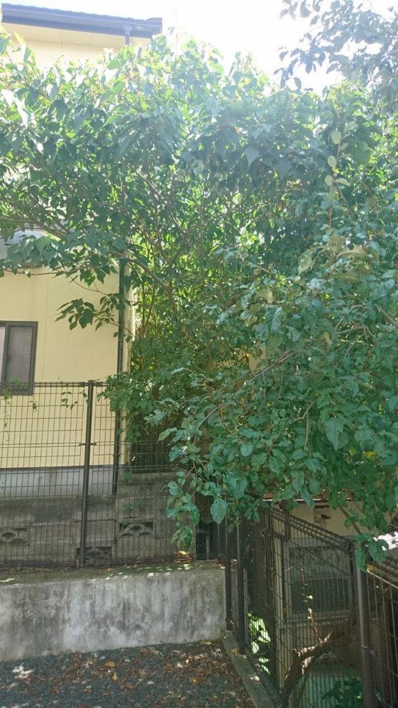 住宅とアパートの間から広がるように成長してしまった伐採対象木