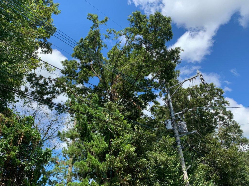 電柱の左横にある枝折れを起こしてしまった樹高15m以上もあるクヌギ