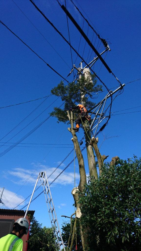 樹木の上部では電線と接触している枝も多く、カズラまで絡んでいるものも