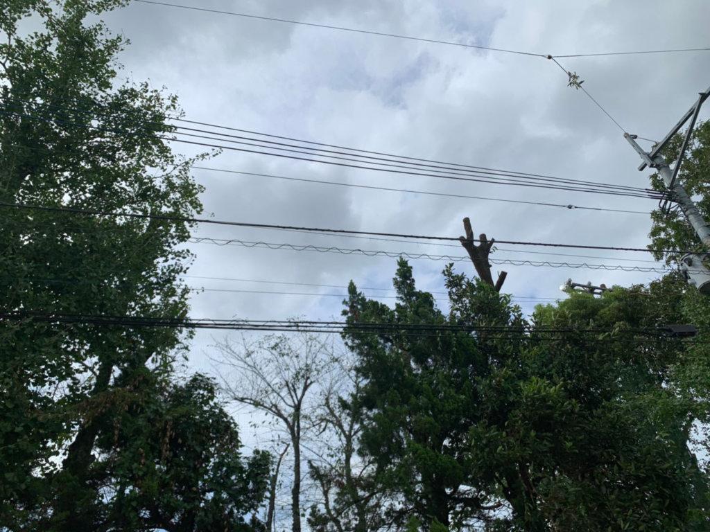 枝折れの処理が終わり、樹高を下げ終えたクヌギ