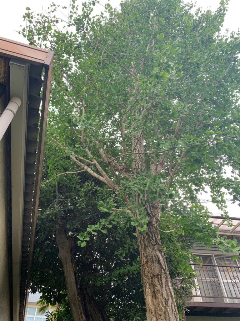 大きくなりすぎたイチョウ。隣の敷地まで枝が越境してしまったようです。