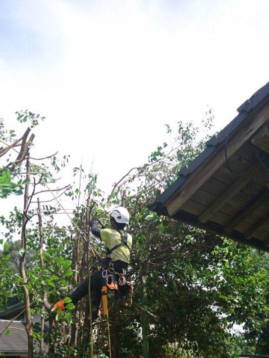 住宅裏手、シキミの枝下ろし作業状況