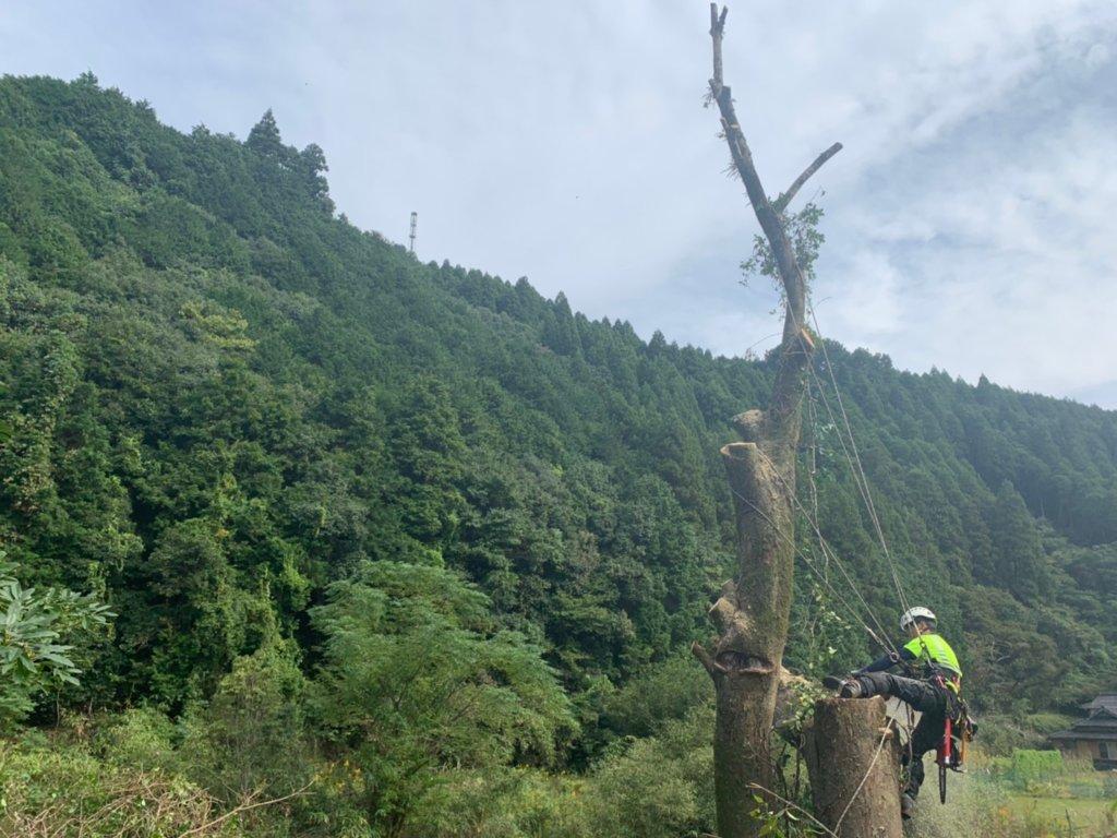 枝葉を切り落とした後は幹の断幹作業。作業は慎重に素早く行います。